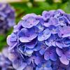 【写真】紫陽花の写真撮ってみた 簡単キレイ