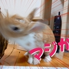 【ミニウサギのサスケ先輩】うさぎの闘病は辛い・・でももっと辛いのは知り合いの愛兎な亡くなることだよ・・・。