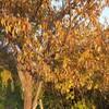 夕暮れの木の葉