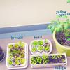 栽培日記3 ベランダ菜園・さつまいも・ピーマン