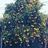 オレンジの収穫