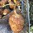 栽培が難しい北海道で里芋はできたのか?