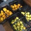 リスボンレモンとハッサク収穫 2019