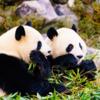 パンダと言えば上野より白浜だ!アドベンチャーワールドでパンダ充しようぜ!