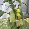 家庭菜園 成長日記②