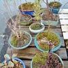 冬の盆栽棚に、花咲く三人娘が仲間入り