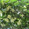 ユズの花が咲きました !!