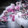 春に雪が降った - Sometimes It Snows in (almost) April
