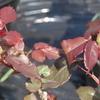 2013/03/28 リオサンバのつぼみ このバラは毎年早い!!