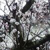 高崎城址公園周辺散歩 8分咲きの梅・オカメザクラももうすぐ・浅間山