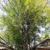 榎前八剣神社のなぎのき、信照寺のしいのきと本堂