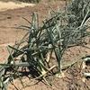 【タマネギ収穫】結論的には大豊作だが、一方で課題もある