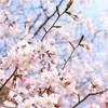 【この春必見】お花見マナーと楽しみ方
