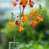 元気な夏のオレンジ:ヒメヒオウギズイセン