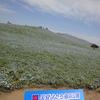 【茨城】ネモフィラの青い花畑@ひたちなか海浜公園