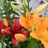 初心者でも花を咲かすことに成功!ユリを球根から育てました!【成長レポート】