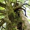 巨木さん。屋久島の「縄文杉さん」、12位です。♫♫♫