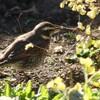 「佐久の季節便り」、ツグミ(鶫)、ムクドリ(椋鳥)が、地面を歩いて…。