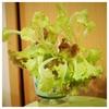 レタスを使って3品料理を作るミッション( º_º )中学生の宿題。レタスの栽培が簡単で楽しい