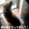 春の嵐がやってきた?!柴犬せんべい、雨の日のお散歩編