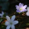 雪割草の咲く道 Ⅳ