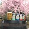しだれ桜満開でーす!
