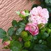 「パリス」の二番花