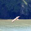 落石岬洋上を飛ぶオジロワシ