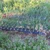 家庭菜園の再開の記録。播種とか家庭菜園の様子、あと今後の展望
