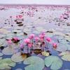 【タイ旅行】蓮池、睡蓮の池をボートで巡る絶景ツアー4選/Top 4 Places to Visit Lotus Pond or Water Lily Pond in Thailand