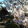 【観光部】中島公園の桜は今年も綺麗です!/「さっぽろ園芸市」もやっていましたよ!