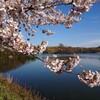 「仁箇堤」で咲き誇る、染井吉野の古木