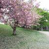 さっぽろ中島公園の桜吹雪♪