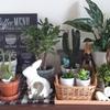 スピンオフ*最近の観葉植物