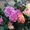 まだまだ3分咲ですが パットオースチン、ウィンチェスターが咲きました。