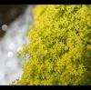 新緑の木漏れ日…山芍薬を訪ねる
