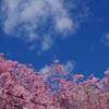 今年も人里の桜で
