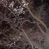 夜のお散歩をしてきました♪【秋田市も桜が開花しました(^^)】