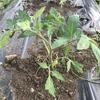 苗植えしました。