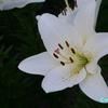 千種公園の色とりどりの百合の花