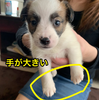 「もずく」は赤ちゃんの時から手が大きいので手が器用。手を使う犬って他にもいるのかな?