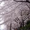 フランス2011(5):<EX>桜、サクラ