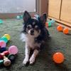 我が家のおじいちゃん犬