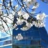 奈良県立馬見丘陵公園は花が一杯(その1 桜は見頃)