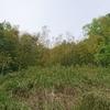 夏も近付く竹の秋