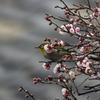 梅の季節の訪問者