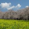 2020.04.04 赤城千本桜