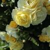 2019【無農薬でバラ栽培】ゴールデンボーダー