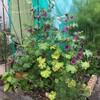 マロウ、5/28に咲いた花と、黄色くなる葉の対処法。他、ドライハーブ