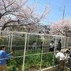 やまびこ:サヤエンドウの収穫と1年生の教室